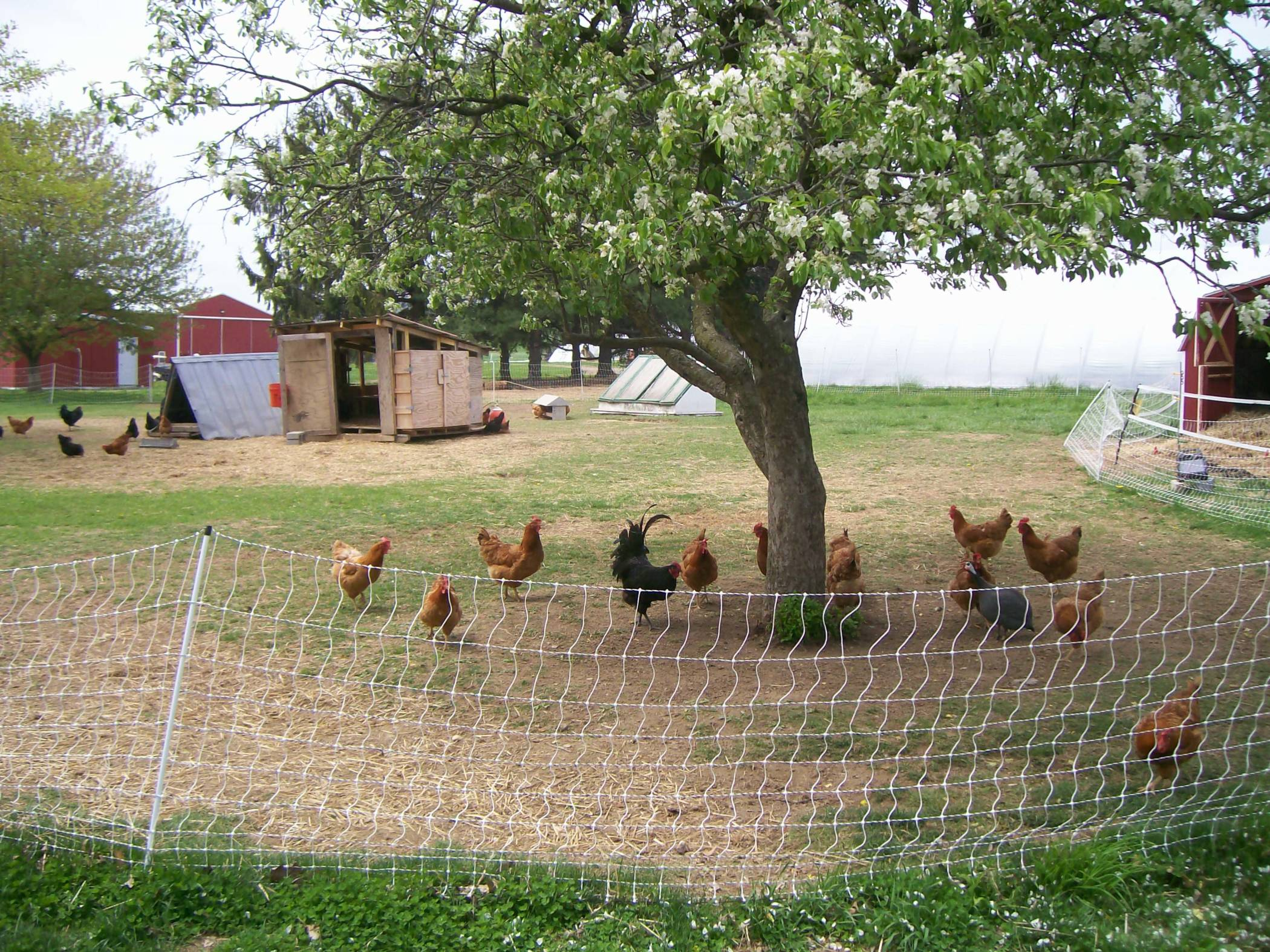 How to Establish a Small-Scale, Pastured Poultry Operation