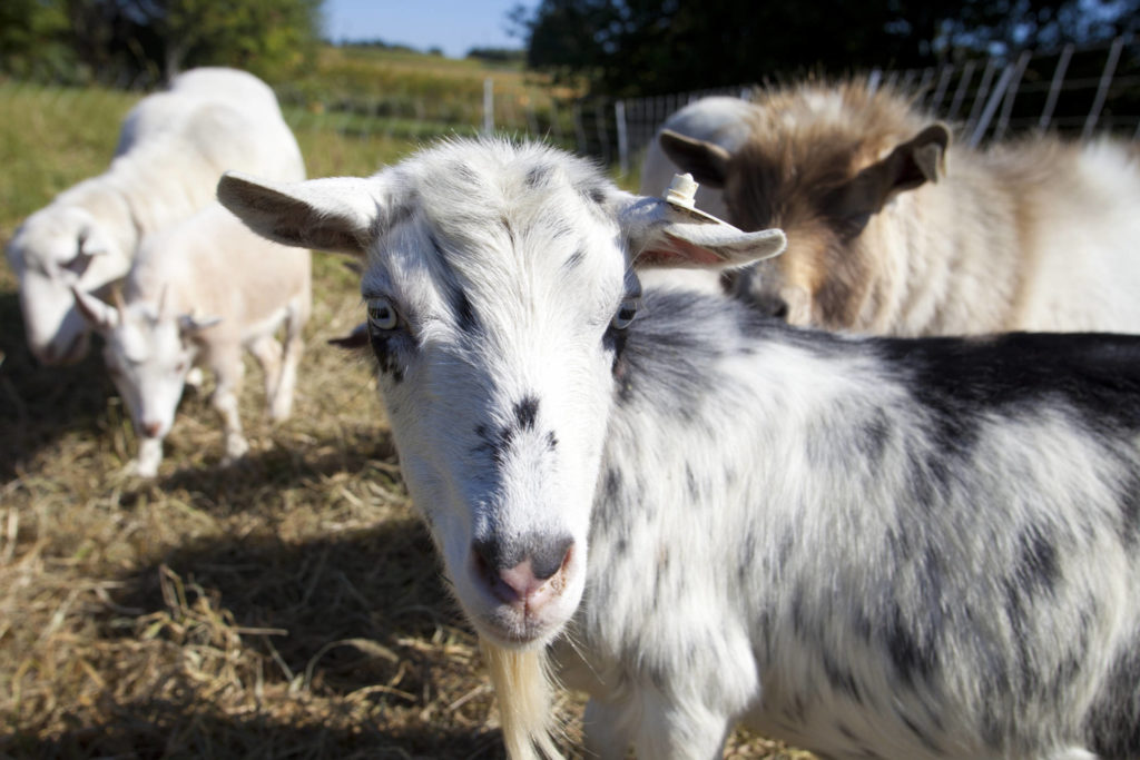 Tapping Into The Booming Goat Market Rodale Institute