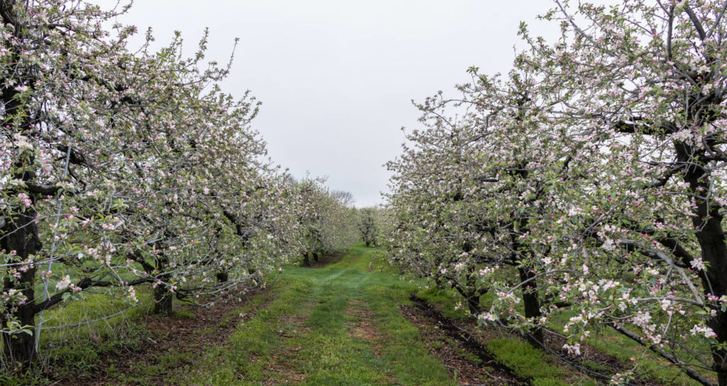rodale organic apple orchard