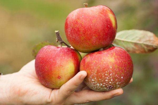 holding organic apples
