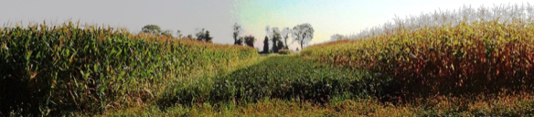 A panorama showing crop comparison at the Farming Systems Trial