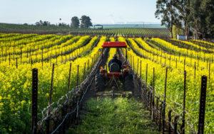 mustard crop mowing