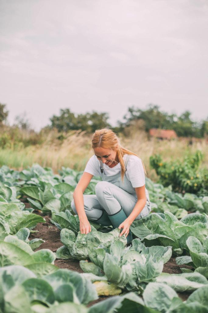 harvesting organic cabbage