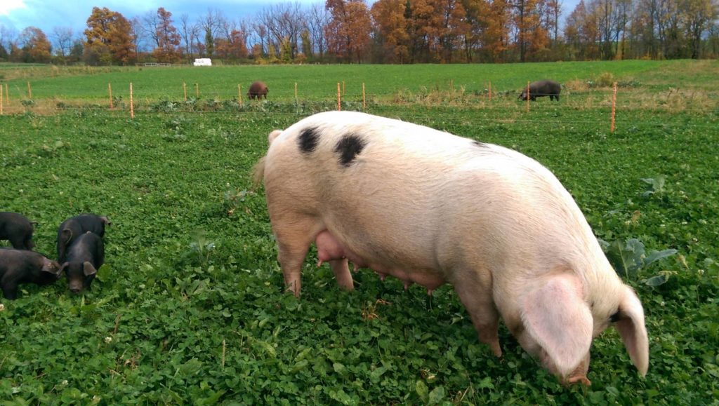sow grazes on pasture with piglets