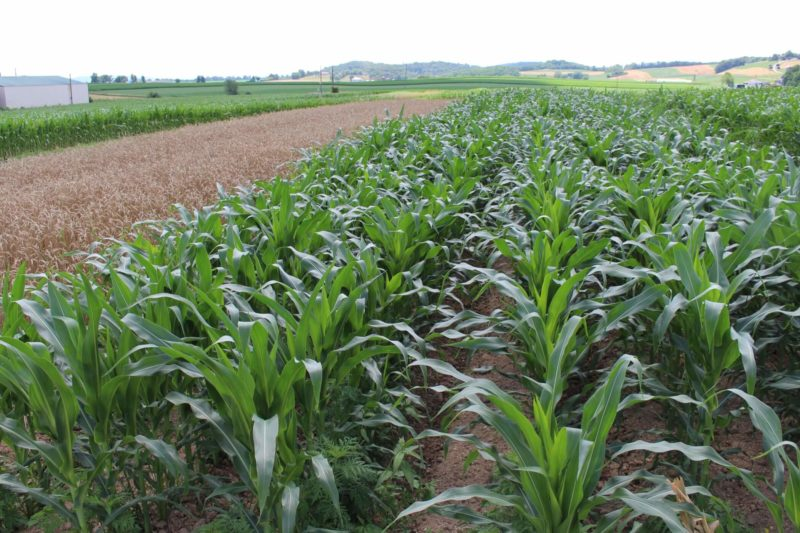 rows of small corn plants