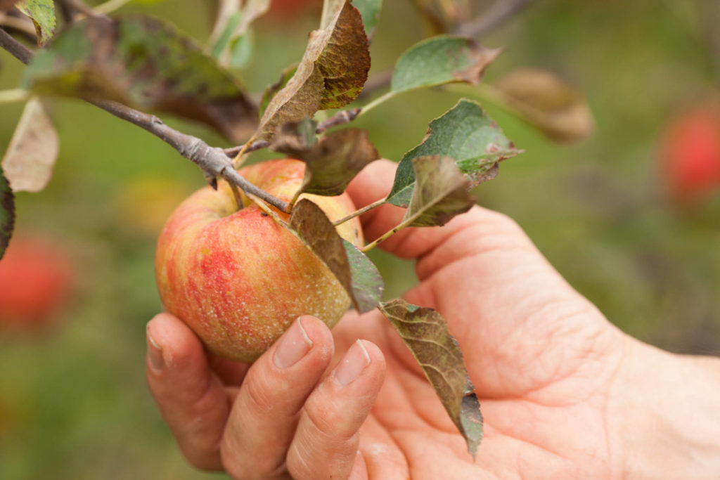 organic apple orchard at Rodale Institute