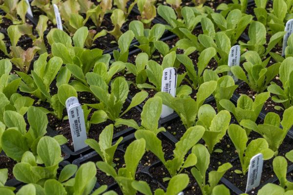rodale lettuce
