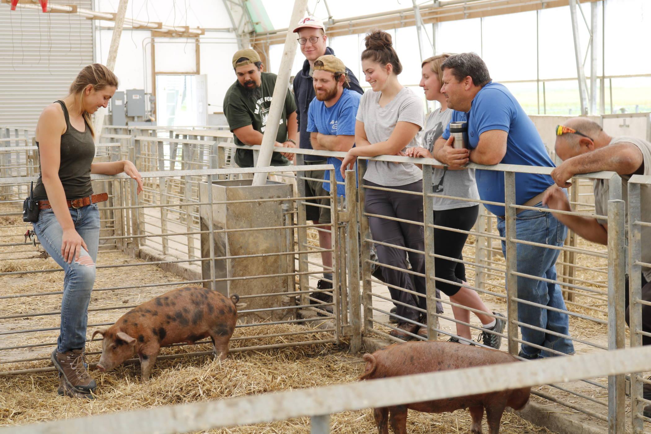 livestock hogs