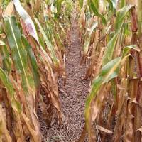 cover crop corn field