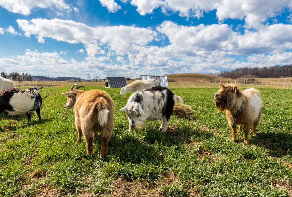 在牧场上放牧的山羊