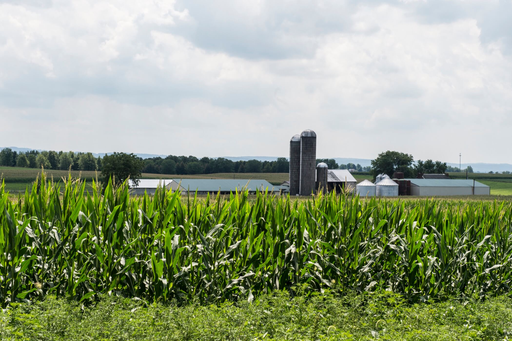 barn and silos in the distance behind a field of corn