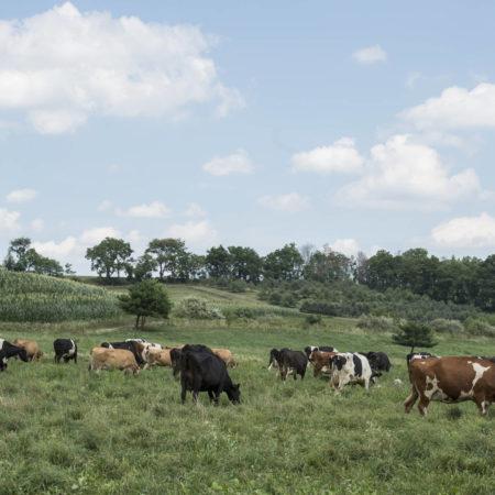rodale cows