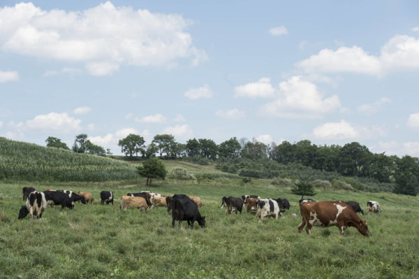 rodale cows