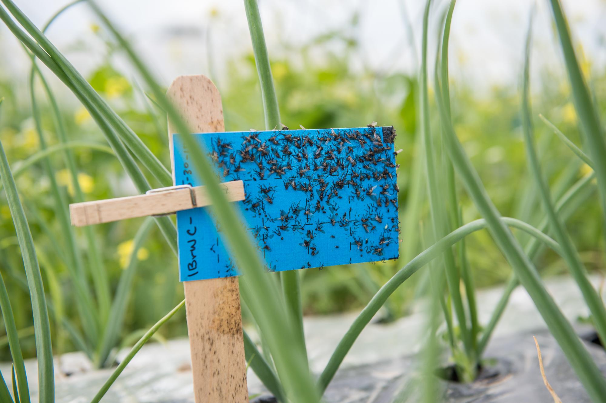 sticky card traps pests