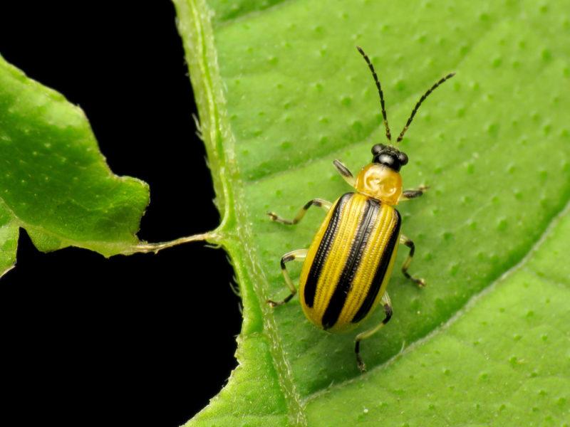 striped beetle