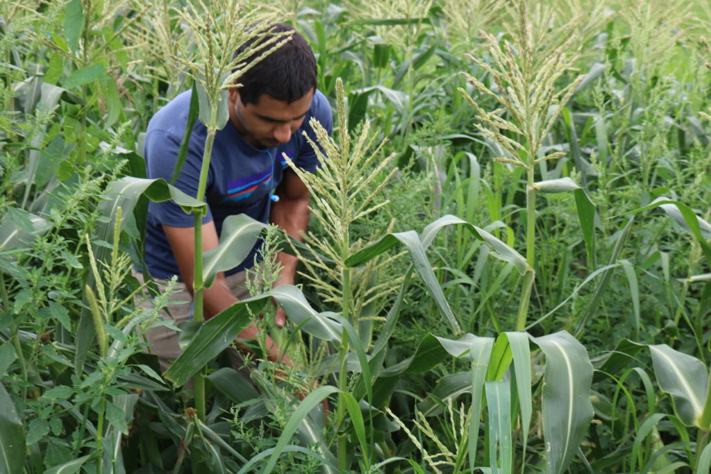 Young man harvest sweet corn