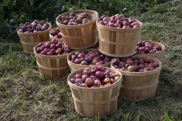 bushels of organic apples