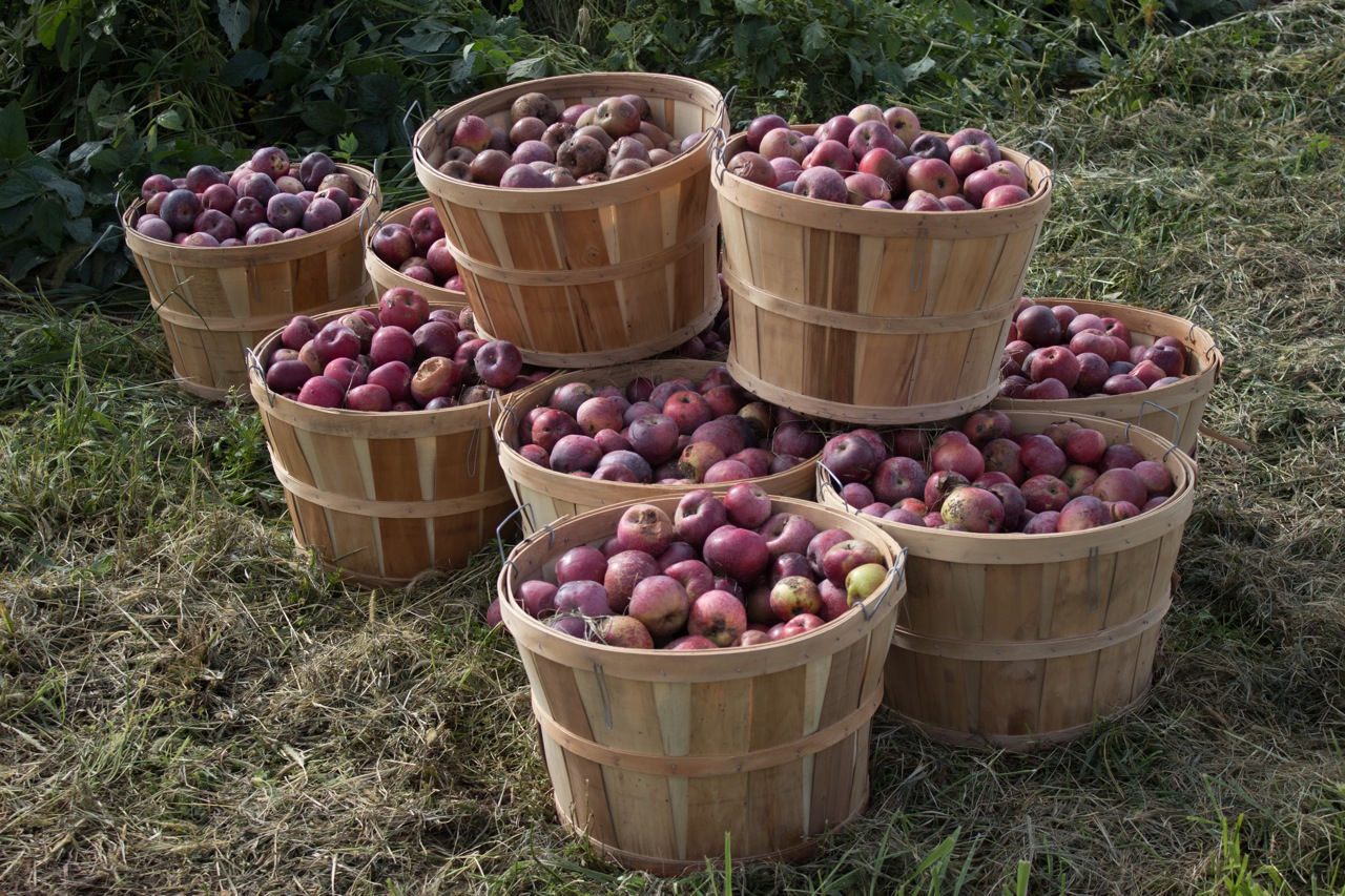 Bushels of organic apples