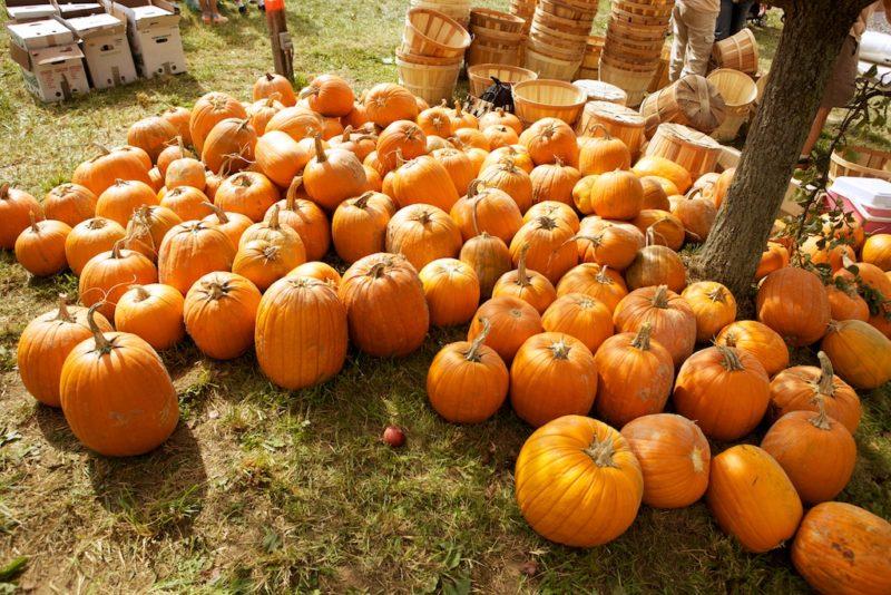 rodale pumpkins