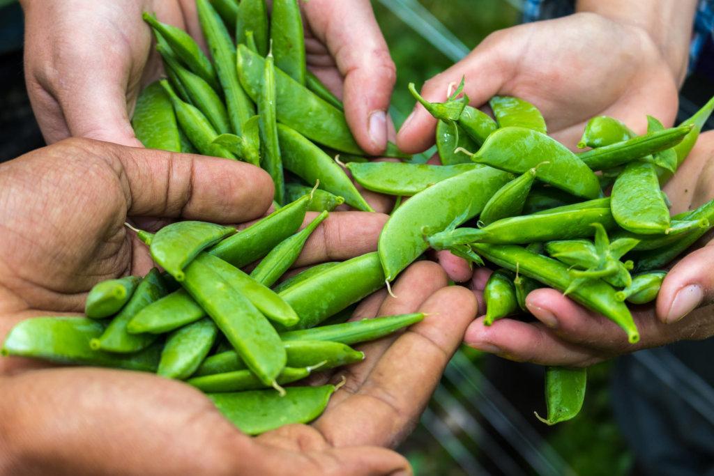 harvest of fresh peas