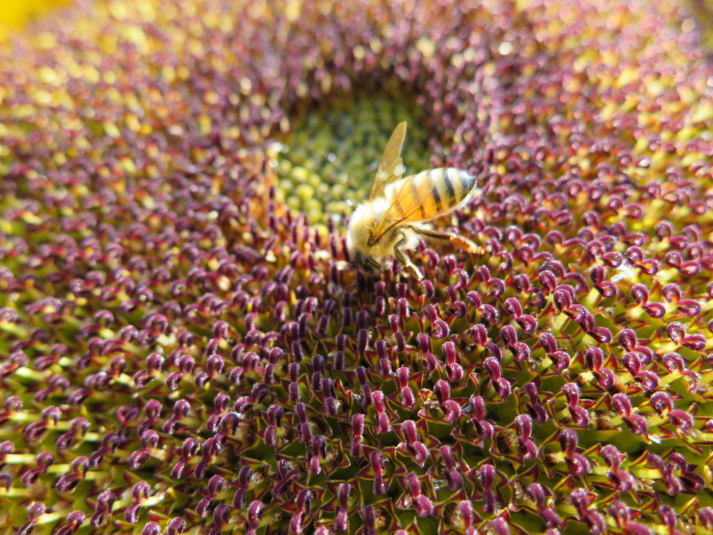 honeybee flower