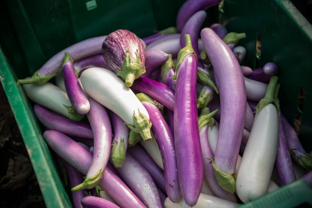 rodale eggplant