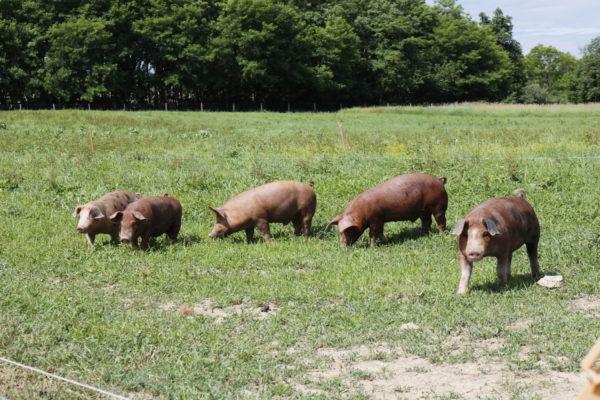 happy rodale hogs