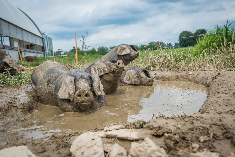 hogs in mud