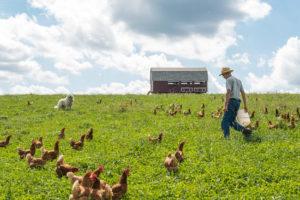 在牧场上收集鸡蛋