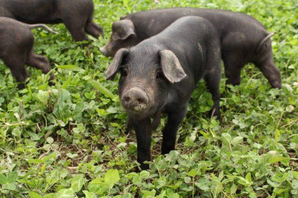 happy black hogs