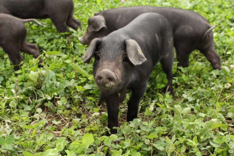 happy black hogs