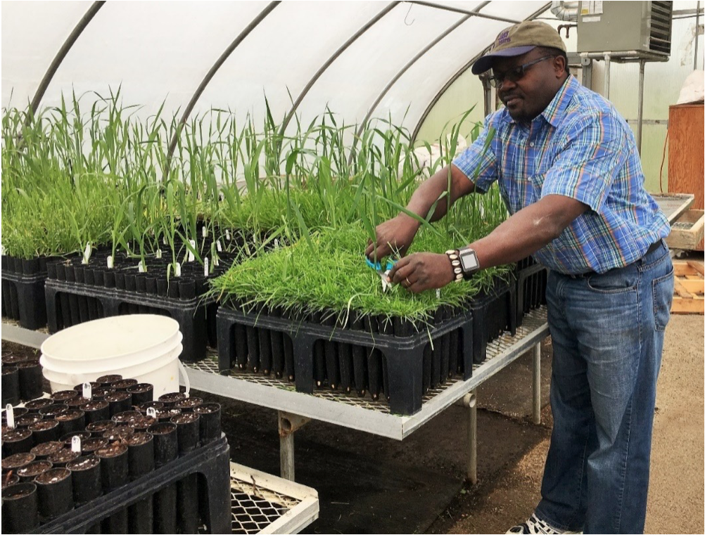 Dr. Emmanuel Omondi trimming oat plants in the greenhouse