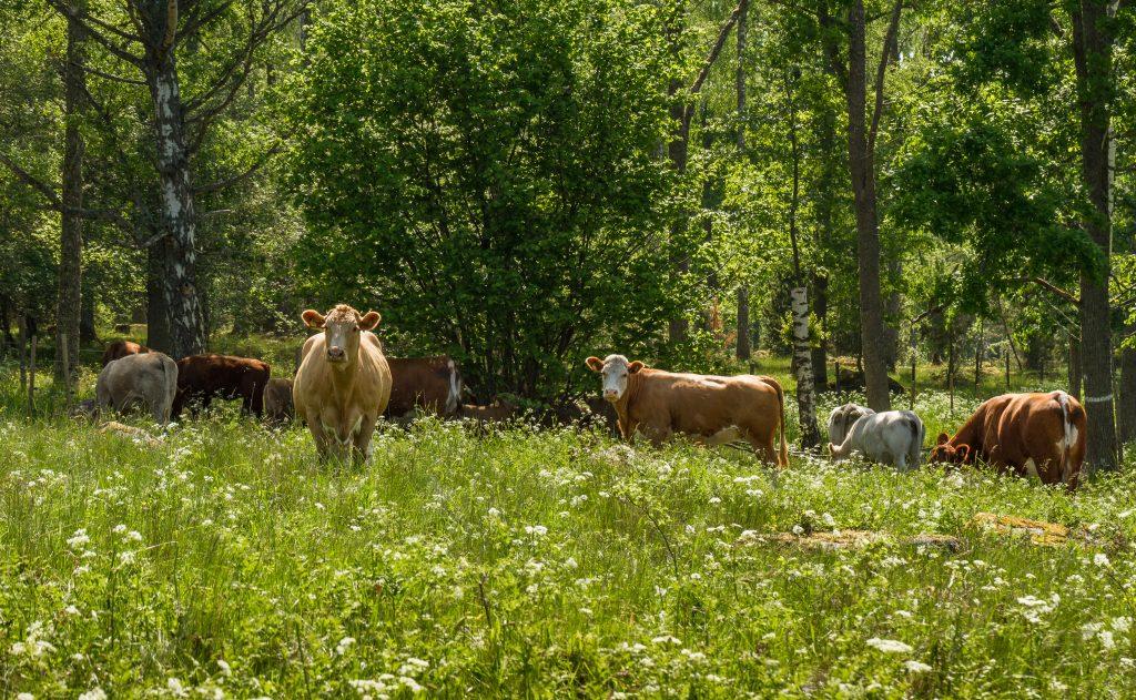 在牧场上放牧的奶牛