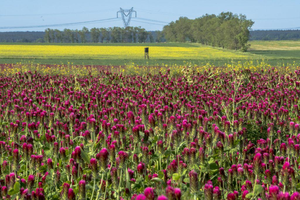 三叶草覆盖作物领域