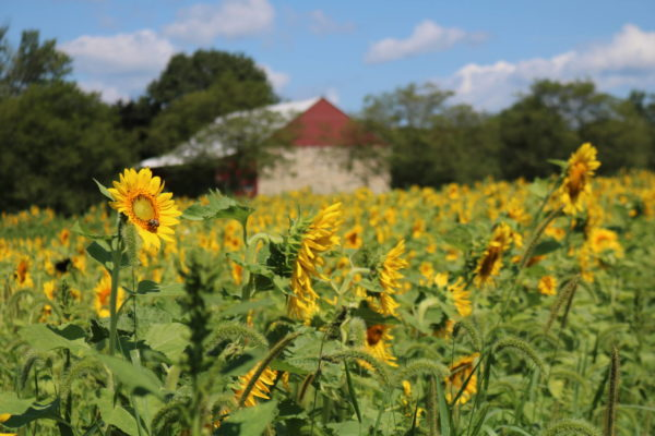 sunflower field with a red barn
