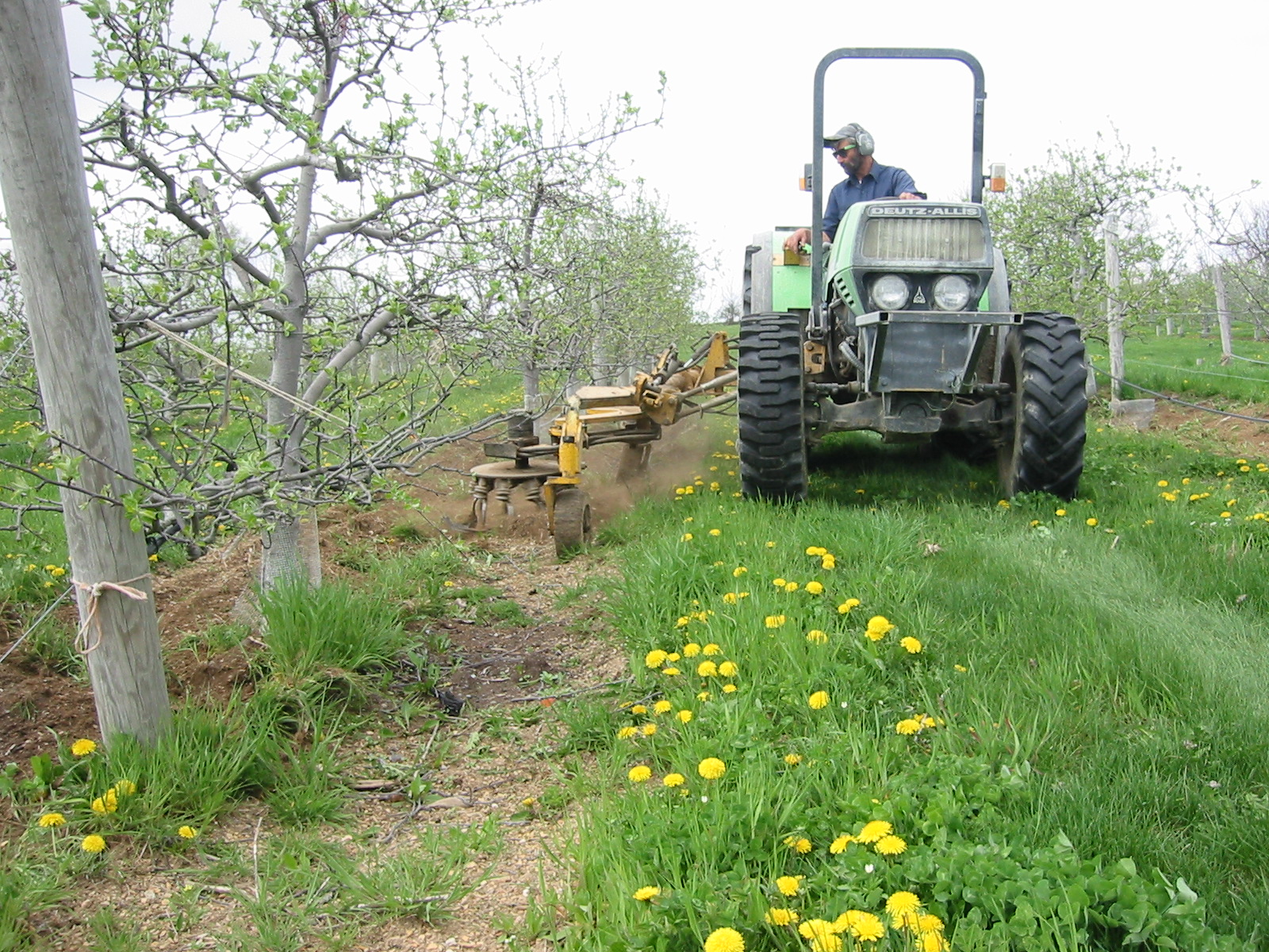 Apple orchardist uses a tractor implement to weed the orchard